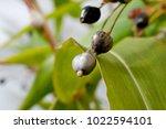 job's tears   coix lachryma... | Shutterstock . vector #1022594101