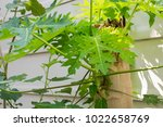 young papaya branch or part of... | Shutterstock . vector #1022658769