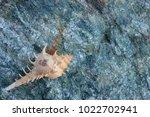 shells on gray stone  the sea... | Shutterstock . vector #1022702941