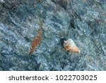 shells on gray stone  the sea... | Shutterstock . vector #1022703025