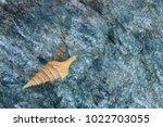 shells on gray stone  the sea... | Shutterstock . vector #1022703055
