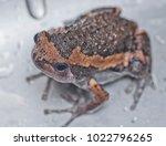 Portrait Of Frog.