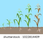 dying plant of sweet corn from... | Shutterstock .eps vector #1022814409