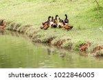 Ducks On The Green Grass ...