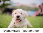 Stock photo puppy labrador retriever week old 1022850205