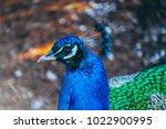colorful peacock portrait....   Shutterstock . vector #1022900995