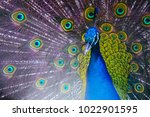 colorful peacock portrait....   Shutterstock . vector #1022901595