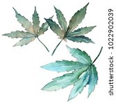 cannabis leaves in a watercolor ... | Shutterstock . vector #1022902039
