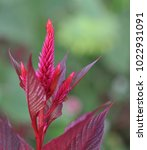 Small photo of Close up bright pink amaranthus flower spike blooming in front of fresh green blurred background in the garden