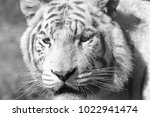 white and white tiger head shot ... | Shutterstock . vector #1022941474