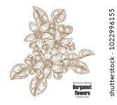 bergamot branch with flowers... | Shutterstock .eps vector #1022996155