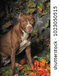 Small photo of Brown American Pit Bull Terrier