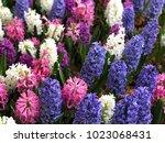 background  hyacinth flowers   Shutterstock . vector #1023068431