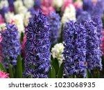 Background  Hyacinth Flowers