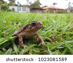 toad  bufo bufo  stopped in the ... | Shutterstock . vector #1023081589