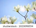 Sunshine On Flowering White...