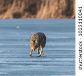 Small photo of Coyote hunting on ice