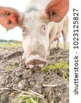happy pigs on a farm in the uk | Shutterstock . vector #1023125827