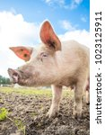 happy pigs on a farm in the uk | Shutterstock . vector #1023125911