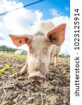 happy pigs on a farm in the uk | Shutterstock . vector #1023125914