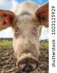 happy pigs on a farm in the uk   Shutterstock . vector #1023125929