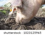 happy pigs on a farm in the uk   Shutterstock . vector #1023125965