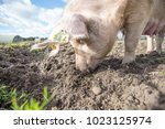 happy pigs on a farm in the uk | Shutterstock . vector #1023125974