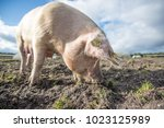 happy pigs on a farm in the uk   Shutterstock . vector #1023125989