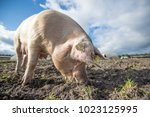 happy pigs on a farm in the uk   Shutterstock . vector #1023125995
