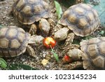 Stock photo african spurred tortoise in the garden african spurred tortoise eating red cherry geochelone 1023145234