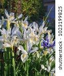 beautiful spanish irises at the ... | Shutterstock . vector #1023199825