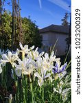 beautiful spanish irises at the ... | Shutterstock . vector #1023200329