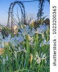 beautiful spanish irises at the ... | Shutterstock . vector #1023200365