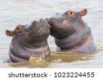 Two hippo calfs in saint lucia  ...