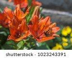 Siberian Lily  Lilium...