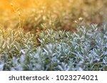 closeup fresh flavoring plants...   Shutterstock . vector #1023274021