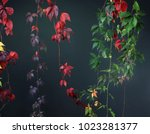 colorful autumn tree vines... | Shutterstock . vector #1023281377