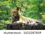 bengal tiger  endangered fierce ...   Shutterstock . vector #1023287839