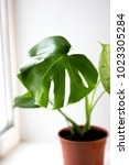Monstera Green Potted Plant In...