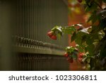 Wet Camellia Flowers In The...