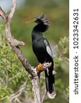 a male anhinga in breeding...   Shutterstock . vector #1023342631