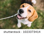 Stock photo beautiful tricolor puppy of english beagle sitting on green grass beagle is a breed of small hound 1023373414