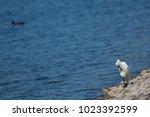 little egret  egretta garzetta  ...   Shutterstock . vector #1023392599