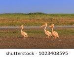 white pelicans  pelecanus... | Shutterstock . vector #1023408595