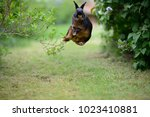 Stock photo free german rabbit happily bock jumping in green garden between bushes european animals 1023410881