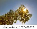 weeping birch  betula alba... | Shutterstock . vector #1023423217