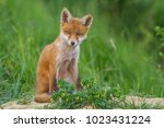 Stock photo red fox cub 1023431224