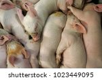 view of a fertile sow lying on... | Shutterstock . vector #1023449095