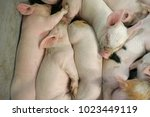 view of a fertile sow lying on... | Shutterstock . vector #1023449119