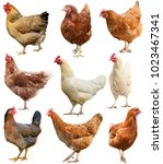 Set of chicken isolated on...